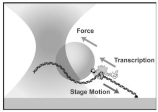 Figure 1. Optical tweezers are a tool of single-molecule biophysics which allow quantitative measurement of position with sub-nanometer resolution and, in dual-trap configurations, commensurate long-term stability. (From Neuman, Block [2])